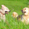 Постер, плакат: Two Golden Retrievers run through a grassland
