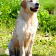 Sitting Golden Retriever — Stock Photo