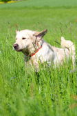 Golden Retriever runs through a grassland — Stock Photo