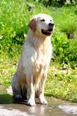 Sitting Golden Retriever — Foto de Stock