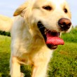 Lucky Golden Retriever — Stock Photo
