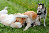 Playing Dogs — Stock Photo
