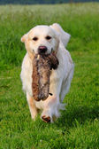 Working Golden Retriever — Stock Photo