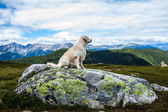 Sitting Golden Retriever in front the Alps — Stock Photo