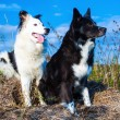 Portrait of two Boarder Collies — Stock fotografie