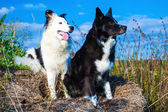 Portrait of two Boarder Collies — Stock Photo