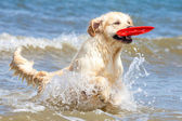Golden Retriever at the beach — Stock Photo