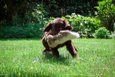 Cachorro Labrador Retriever de cubierta lisa — Foto de Stock