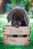 Flat-Coated Retriever Puppy — Stock Photo