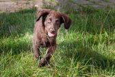 Flat Coated Retriever Puppy — Foto de Stock