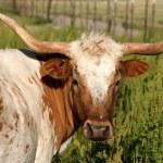 Longhorn cow — Stock Photo #24871263