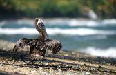 En pelikan torkning fjädrar — Stockfoto