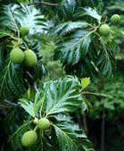 パンノキの木 — ストック写真