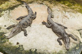 Two Thai crocodile — Stock Photo