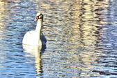 Swan in Lake Eola — Stock Photo