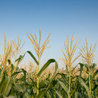 Maize farm — Stock Photo