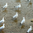Crowd of Seagull — Stockfoto #33327213