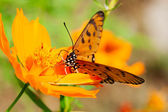 Orange Butterfly Suck Flower — Stock Photo