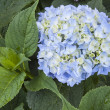 Blooming blue  hydrangea — Stock Photo