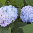 Blooming hydrangea - twoo inflorescences — Stock Photo