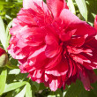 Heads of peonies after rain — Stock Photo