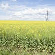 Flowering rapeseed field and power line — Stock Photo