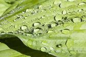 Raindrops on a large leaf, macro — Stock Photo