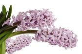 Pink hyacinth on white background — Stock Photo