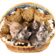 The Maine coon kittens — Stock Photo