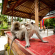 Monkeys in Sacred Monkey Forest in Ubud Bali Indonesia. — Stock Photo