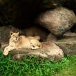 Lioness and Lion resting  — Stock Photo