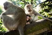 Macaque family — Stock Photo