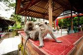 Scimmie nella foresta sacra scimmia in ubud bali indonesia. — Foto Stock