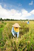 Colheita de arroz — Foto Stock