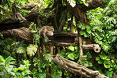 Beautiful leopard resting on a tree limb at Balinese zoo. — Stock Photo