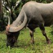 Domesticated buffalo for rice production — Stock Video