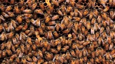 Bees convert nectar into honey — Stock Video