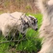 Goats family grazing on a field — Stock Video