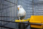 White wavy parrot — Stock Photo