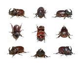 Nosorożec beetle — Zdjęcie stockowe