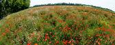 Flowers-Poppies-Wheat — Stock Photo