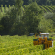 Mechanical harvesting of grapes in the vineyard — Stock Photo #32672395
