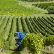 Mechanical harvesting of grapes in the vineyard — Stock Photo