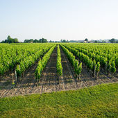 Vineyards in the sunshine — Stock Photo