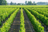 Vineyards in the sunshine — Stockfoto
