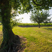Tree in vineyards in the sunshine — Stock Photo