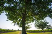 Drzewo w winnice w promieniach słońca — Zdjęcie stockowe