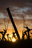 Feet Vineyard at sunset — Stock Photo