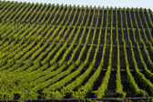 Vineyard landscape-Vineyard south west of France, Bordeaux Vine — Stock Photo