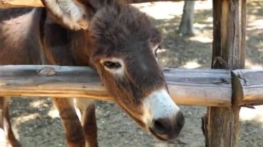 Donkey Chewing — Stockvideo